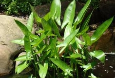Arrowheads (Sagittaria species)