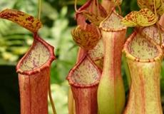 Pitcher Plant (Sarracenia Flava)