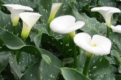 Spotted Calla Lily (Zantedeschia Albomaculata)