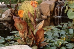 Tropical Water Canna (Canna spieces)