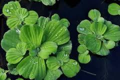 Water Lettuce (Pistia Stratiotes)