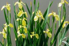 Yellow Iris (Iris Pseudacorus), yellow flag