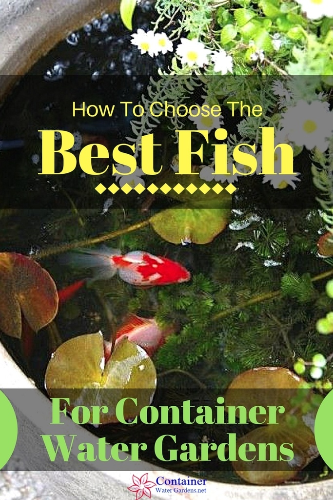 Fish for container water gardens container water gardens caring for fish in a container water garden or other small contained outdoor water feature is similar to maintaining fish an in ground pond workwithnaturefo