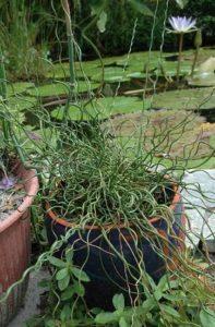 Corkscrew Rush (Juncus Effusus 'Spiralis')