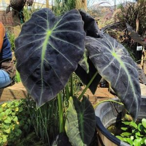 Colocasia, variegated