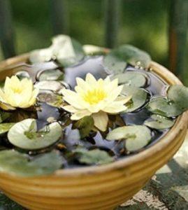 Yellow Pygmy Dwarf Water Lily (Nymphaea Pygmaea 'Helvola')