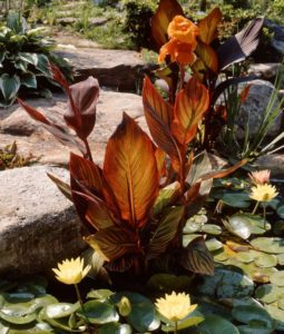 Tropical Water Cannas (Canna spieces)