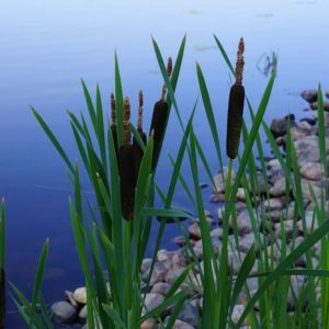 Cattails (Typha Laxmannii)