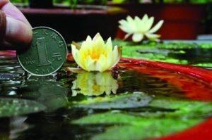 A dwarf (miniature) water lily.