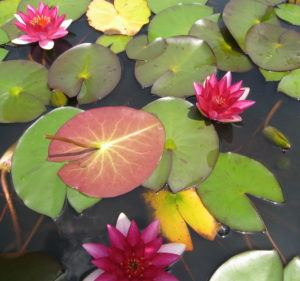 Water lilies come in a rainbow of colors.