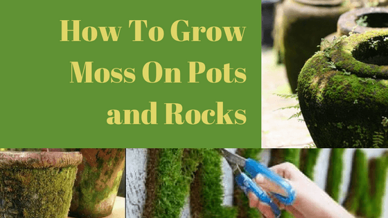How to grow moss on pots and rocks