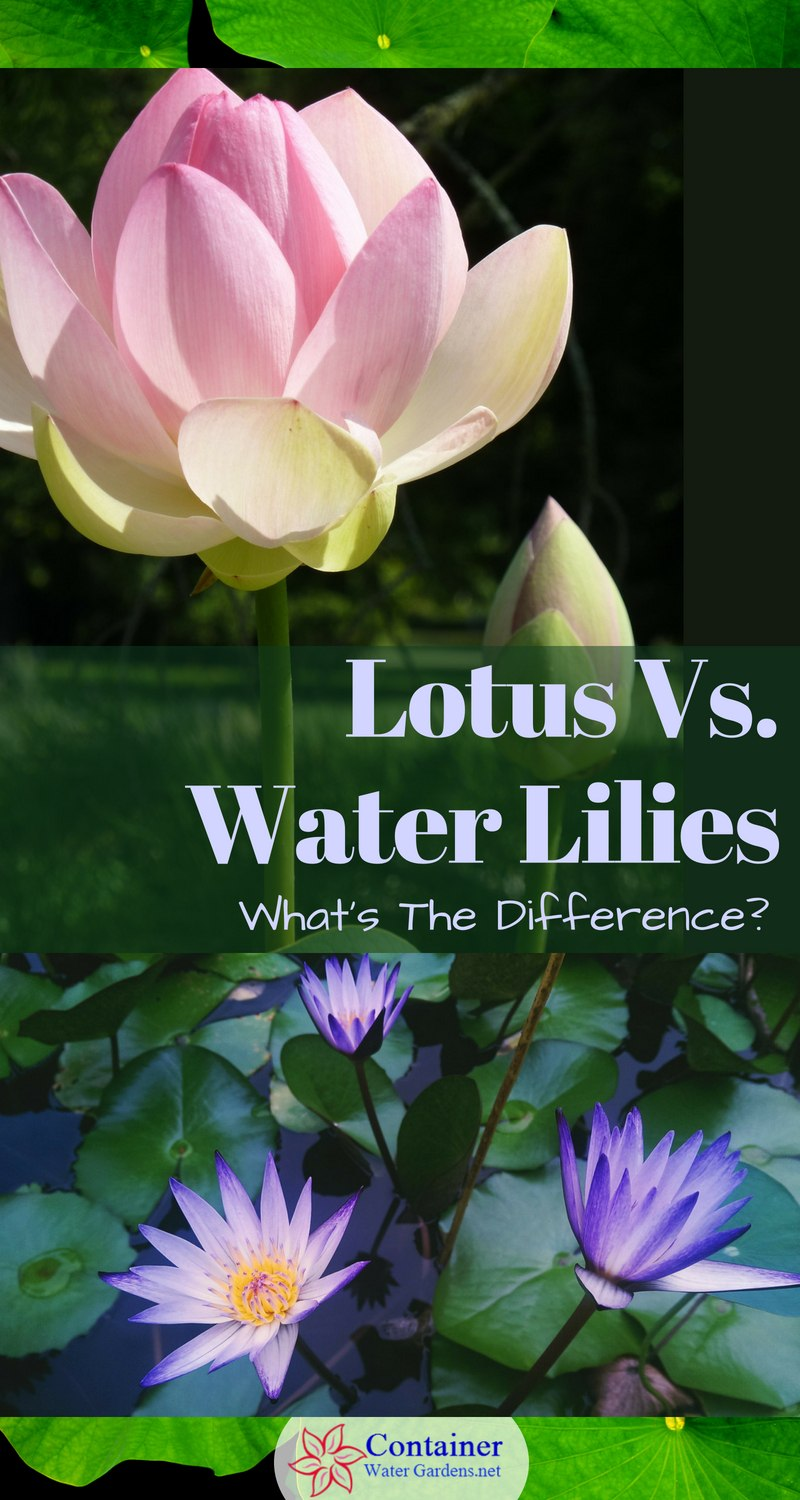 Lotus Vs Water Lilies Whats The Difference Container Water Gardens