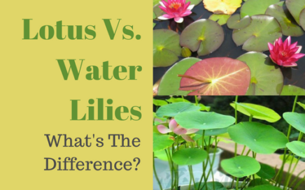 Lotus Vs. Water Lilies