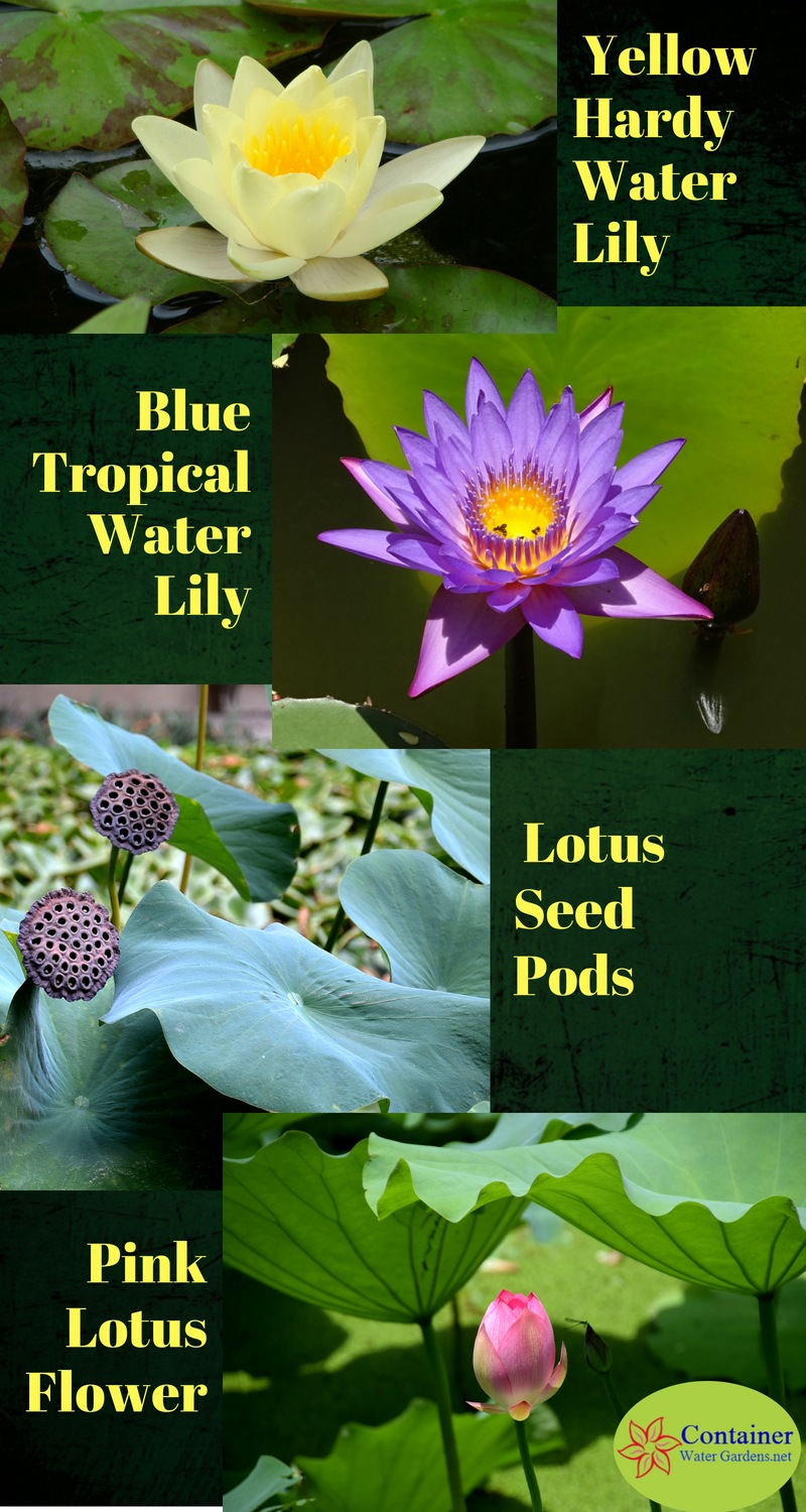 Lotus vs water lilies whats the difference container water gardens lotus and water lily plants infographic izmirmasajfo
