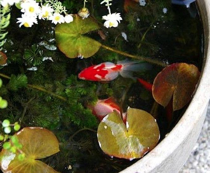 Fish For Container Water Gardens Container Water Gardens