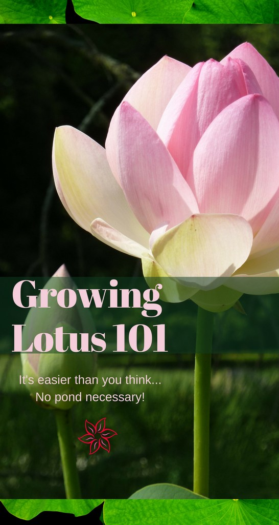 Growing Lotus 101 Container Water Gardens