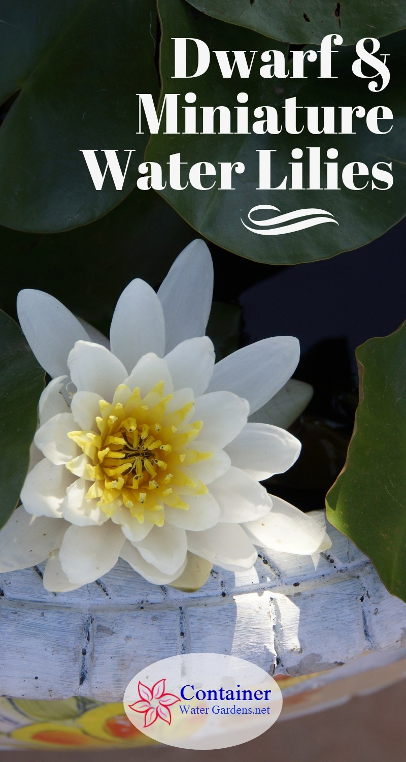 Dwarf And Miniature Water Lilies Container Water Gardens